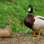 two ducks || zwei Enten